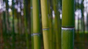 Le bambou, un allié santé et beauté de choix